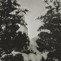 Twin Winter Spruce